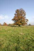 Autumnale colored beech tree on a meadow in the westerwald, hessen, germany Stock Photos