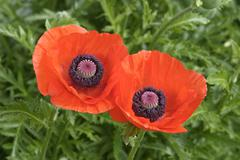 Two corn poppy blooms papaver Stock Photos