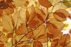 autumnale colored beech leafs - stock photo
