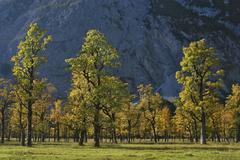 Old maple trees in autumn Grosser Ahornboden Engtal Karwendel Mountain Range Stock Photos