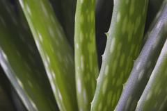 aloe vera plant, studio shot on black - stock photo