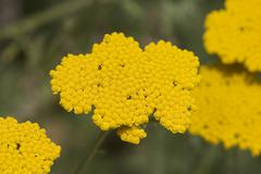 yarrow achillea filipendulina - stock photo