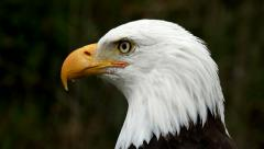 Bald eagle closeup - stock footage