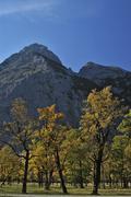 Stock Photo of Old maple trees in autumn Grosser Ahornboden Engtal Karwendel Mountain Range