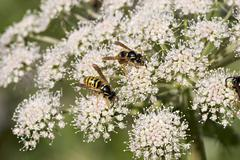 Stock Photo of common wasp ( vespula - paravespula vulgaris ) on flower of wild angelica ( a