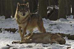 Stock Photo of european wolves (canis lupus lupus) showing dominance and submission