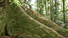Walking around a the buttress roots of a large rainforest tree  Stock Footage