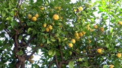 lemon tree - stock footage