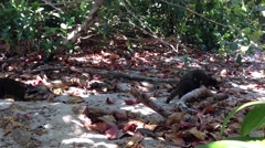 Raccoons walking around in the forest Manuel Antonio National Park Stock Footage