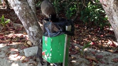 Raccoons picking food out of  the trash bin Stock Footage