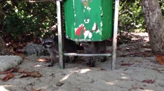 Raccoons picking food out of  the trash bin in Manuel Antonio National Park - stock footage