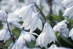 scilla alba abloom - stock photo