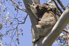 Koala mother with baby, otway national park, victoria, aus Stock Photos