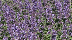 Purple Catmint flowers in close-up. Stock Footage