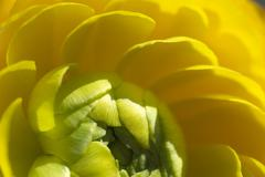 buttercup blossom ranunculus asiaticus detail close up - stock photo