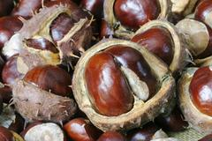 Fruits of the chestnut tree (aesculus hippocastanum) Stock Photos