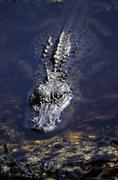 Alligator in the water, florida, usa Stock Photos