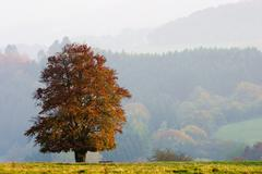 autumnale colored single beech tree on a meadow in evening light - stock photo