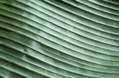 corrugated structure of banana leaf in reflecting light, close up, detail - stock photo