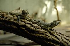 Stock Photo of two barbed agama on a stick amphibolurus barbatus