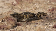 Crab sitting on rock on shore of Black Sea 4k Stock Footage