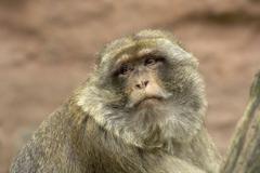 Barbary ape portrait (macaca sylvanus) Stock Photos