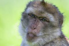 Barbary ape portrait (macaca sylvanus) Stock Photos
