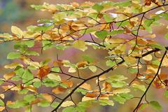 Autumnale colored beech leafs Stock Photos