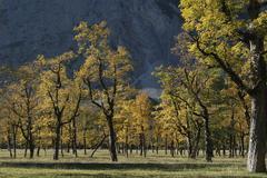 Old maple trees in autumn Grosser Ahornboden Engtal Karwendel Mountain Range - stock photo