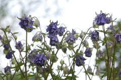 common aquilegia vulgaris l. - stock photo