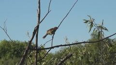 shrike on branch, bush - stock footage
