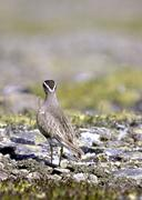 dotterel (charadrius morinellus), adult bird from the back in fjell, fokstue  - stock photo