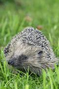 hedgehog (erinaceus europaeus) on a meadow - stock photo