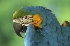 Blue and yellow macaw (ara ararauna), portrait Stock Photos