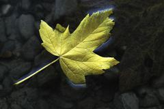 Yellow maple leaf, adrift in dark water Stock Photos