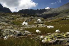 Arctic cotton-grass (eriophorum) in front of mountain scenery, national park  Kuvituskuvat