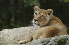 Stock Photo of asiatic lioness (panthera leo persica)