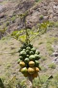 Papaya papaw fruta bomba - carica papaya canary islands Stock Photos