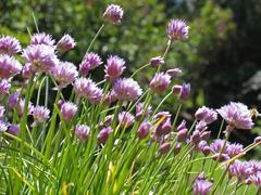 Stock Photo of BRD Germany Bavaria Upper Bavaria Pahl Parsons Region flowering Leek in Garden