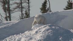 Polar bear (ursus maritimus) cub exploring around den Stock Footage