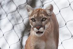 Mountain Lion- puma - cougar lähikuva Kuvituskuvat