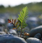 Young plant common tansy - tanacetum vulgare - germany Stock Photos