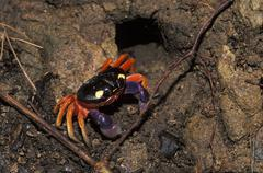 Crab - manuel antonio - costa rica Stock Photos