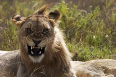 a big female lion expose her teeth in the shamwari game reserve (south africa - stock photo