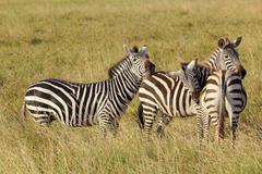 Three common zebras (equus quagga) in serengeti national park, tanzania Stock Photos