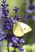 Stock Photo of Cabbage white butterfly at lavendel IMPORTANT Non exclusive usage retail