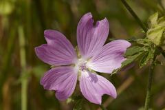 Flora - malva (malva sylvestris) Stock Photos
