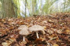 mushroom (lepiota procera) in a autumnal colored beech forest, zoom during th - stock photo