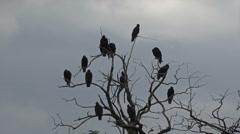Black Buzzard birds in tree above dead animal HD 118 Stock Footage