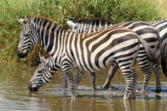 a group of common zebras (equus quagga) drinking from a waterhole - stock photo